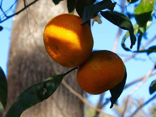 Satsuma tangerine tree is a gift to be enjoyed for years.