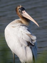 This wood stork was seen around Sandy Hook in late August.