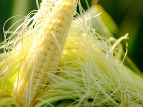 A young ear of corn's developing silks and seeds are revealed.