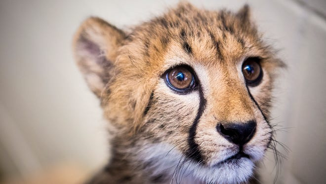 Donni, a 15-week-old cheetah cub, plays at the Cincinnati Zoo & Botanical Garden's nursery Wednesday, June 8, 2016. Donni arrived in Cincinnati April 2 and will be trained as part of the Cincinnati Zoo's Cat Ambassador Program.