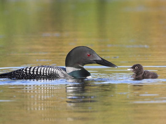 Hunters were cited after reportedly killing a common loon on Lake Huron.