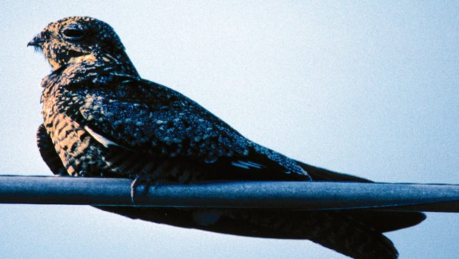Look to the skies this fall to catch a glimpse of the common nighthawk.