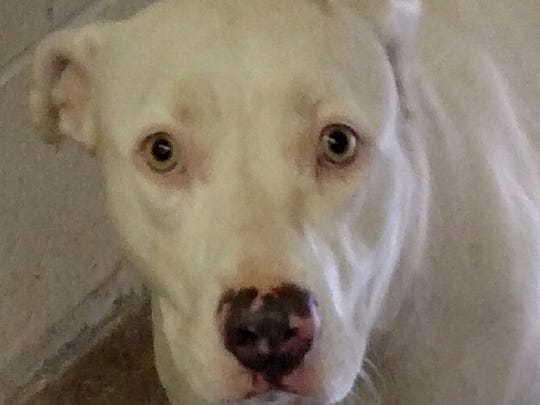 This 1 1/2-year-old white pit bull female is spayed.  She is named rebel. She is house broken. Her adoption fee is $50.05 plus tax. For more information about adopting a Pet of the Week or other furry friends visit Alamogordo Animal Control, 2910 N. Florida Ave., Monday through Saturday between noon and 5 p.m. or contact them at 439-4330.
