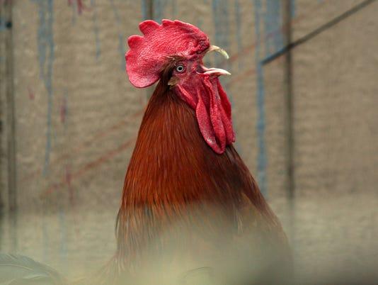636255316204287936-rooster.jpg