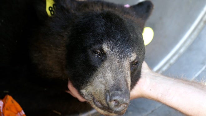 The DEC traps a bear on RIT's campus on Wednesday, June 22, 2016.