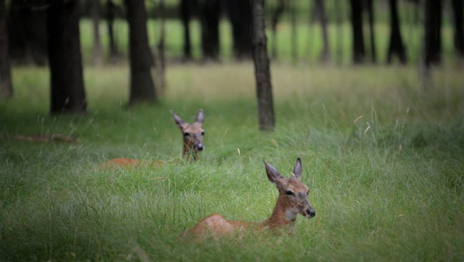 Deer were plentiful on an overcast summer morning in Rifle Camp Park, in Woodland Park, in this 2016 file photo.