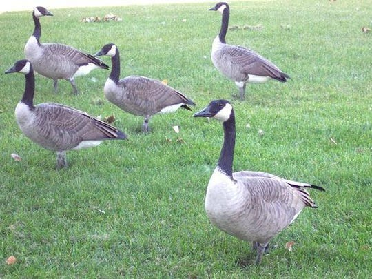 Canada Geese on a suburban lawn