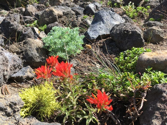 Indian paintbrush flowers.
