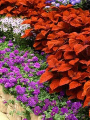 Inferno coleus offers stunning orange leaves that look like an artist masterpiece when combined with all shades of blue.
