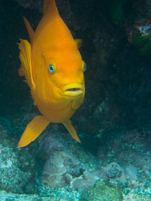 A garabaldi, the state fish, swims in waters off the Channel Islands.
