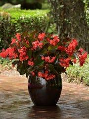 Megawatt Bronze Leaf Red begonia does great in a pot