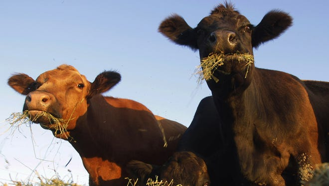 Simmental beef cattle are shown feeding on hay in a pasture near Middletown, Ill.