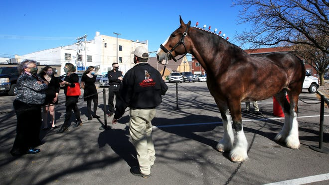 Family and friends of Bob Bush, left, take a look at 'Phoenix,' an Anheuser-Busch Clydesdale led by Dave Thomas Saturday afternoon in the parking lot behind Main Street Event. The ten-year-old Clydesdale gelding was driven to Hutchinson as a tribute to local community leader Bob Bush, co-owner of City Beverage, and his family, after Bob passed away.