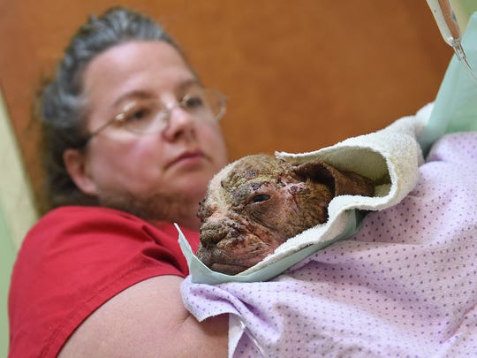 Tonia Eliott, a veterinary tech with Dillsburg Veterinary Center, brings Libre, a 4-month-old Boston Terrier, into the exam room on Saturday. The puppy was found on a Lancaster County farm emaciated, with mange and secondary skin infections causing inflammation, lesions and hair loss throughout his entire body.