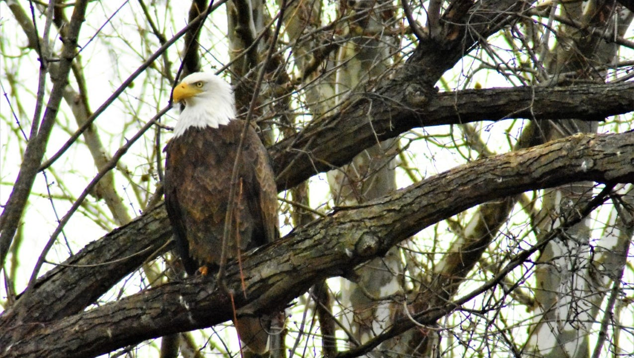 Bald eagles have been spotted along the Codorus Creek and seem to be doing well.