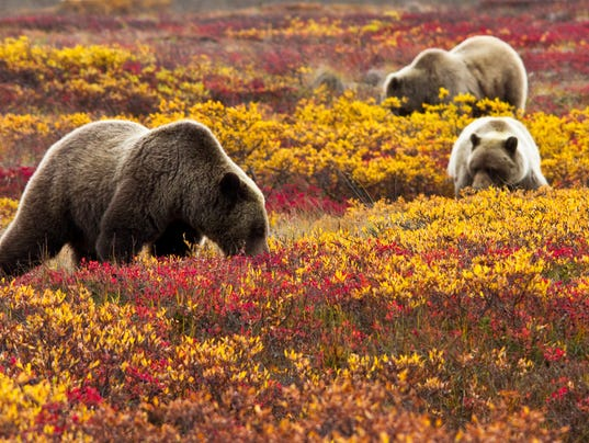636438544045967413-Denali-NP-Fall-Bears-Jacob-W-Frank-NPS-Photo.jpg