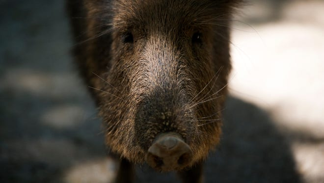 A Chacoan peccary stands in their habitat at Zoo Knoxville on Tuesday, May 9, 2017. Nine of the zoo's Chacoan peccaries are babies.