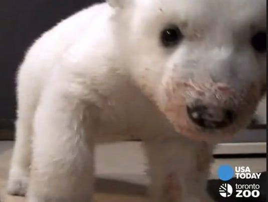 polar cub eats