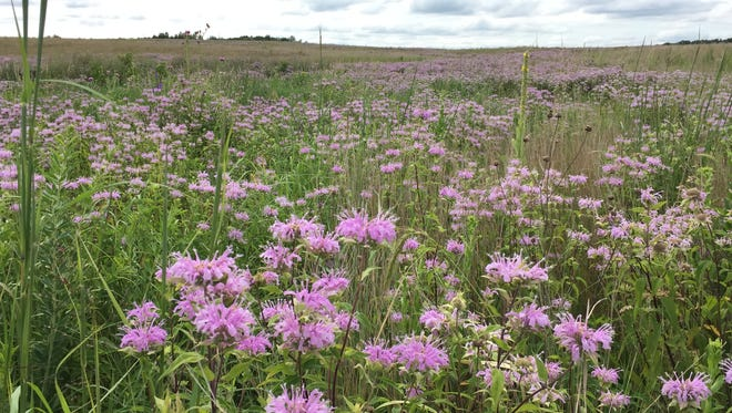 Bergamot flourishes in the Minnesota Veterans State Wildlife Management Area off Minnesota Highway 24 south of Clearwater.