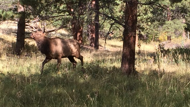 A bull elk gathers a harem at YMCA of the Rockies near Estes Park, Officials urge visitors to keep a safe distance from elk during the breeding season.