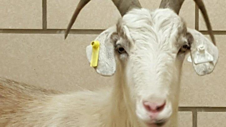 Valentine to William the Goat at the University of Iowa