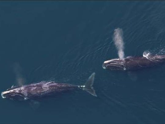 Less than 500  North Atlantic right whales are left