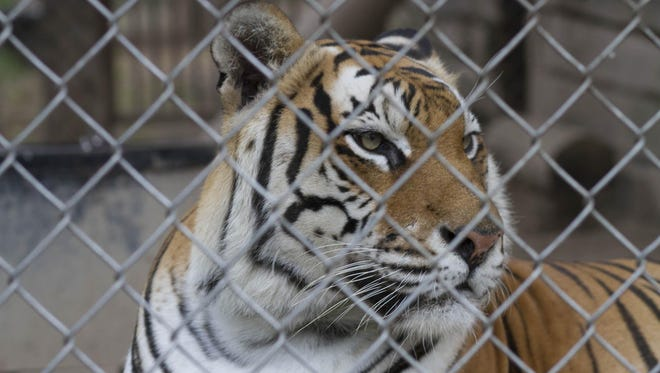 A tiger looks through the wires of its enclosure at Valley of the Kings, a sanctuary in Sharon.