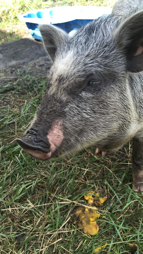 Suzy, a rescued pig, enjoys a nice life with plenty of toys and mud to roll around in at Cocoa Green Market and 12 Palms Farm.