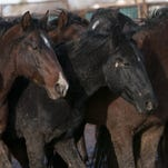Wild horses stand corralled in Iron County in this undated file photo.
