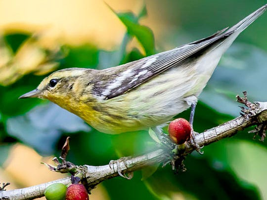 A Blackburnian Warbler in a coffee bush.