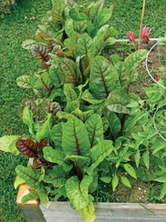 For vegetables such as Swiss Chard, add airy soil to
