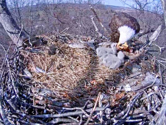 Two eaglets receive a meal Monday, as seen on the Pennsylvania Game Commission's live-streaming eagle cam, which can be accessed at www.pgc.state.pa.us.