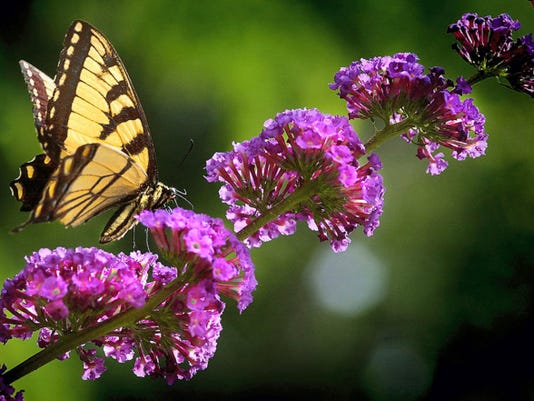 This tiger swallowtail perches on a butterfly bush at Richard M. Nixon County Park. It's one of many butterflies to enjoy during the park's butterfly weekend.