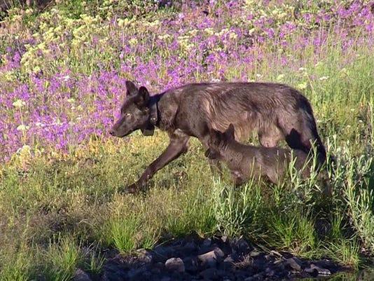 SAL0315-Wolf shot