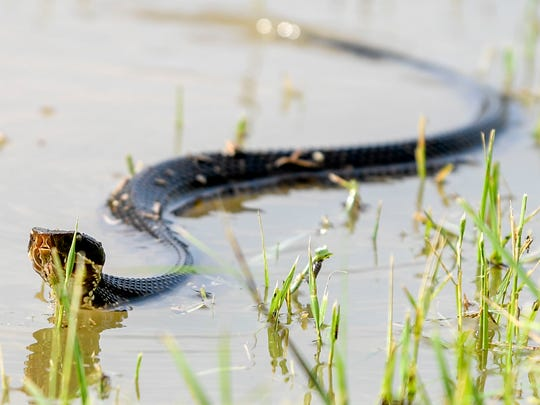 A cottonmouth snake weaves through the water sitting on the side of the road in the morning hours after flash floods swept through low lands and creek beds at Highway 18 in Medon, Tenn., Monday, July 16, 2018.