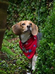Willa, a beagle whose addition to a recovering family went viral.