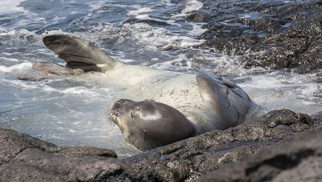 In this undated photo provided by National Oceanic and Atmospheric Administration, an endangered Hawaiian monk seal known as RB18 lies on the shore of Hawaii's Big Island.