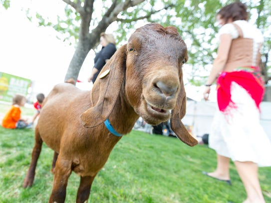 A goat is pictured on Saturday, November 4, 2017, at