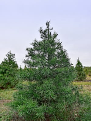A variety of trees will allow you to choose the perfect one for your home.