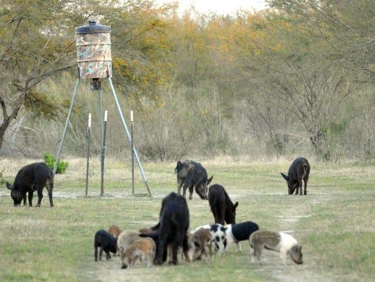 Feral-Hogs.JPG