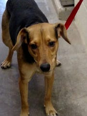 This 1 1/2 year old brown and black Shepard-Hound mix male is neutered. He is a very friendly dog. He seems to be good with other dogs and children. He was left in Animal Control's outside lockup. For more information about adopting a Pet of the Week or other furry friends, visit Alamogordo Animal Control, 2910 N. Florida Ave., Monday through Saturday between noon and 5 p.m. or contact them at 439-4330.