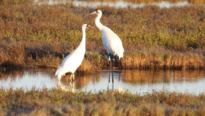 The whooping cranes shot near Beaumont were part of an experimental flock out of Louisiana and not associated with the wild migrating flock that spends winter in South Texas.