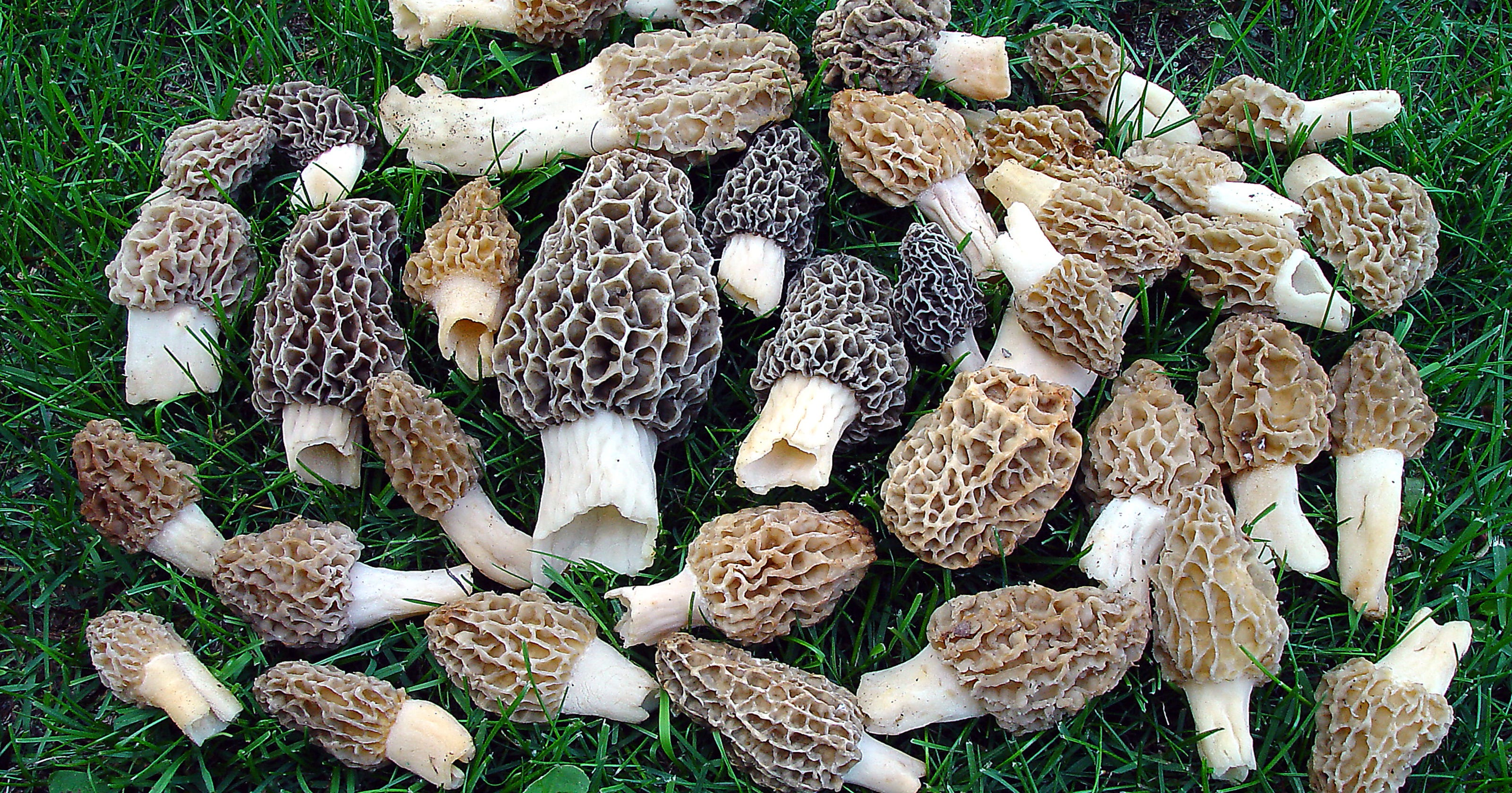 Morel Mushroom Michigan Map.State Map Shows Possible Sites For Morel Hunting