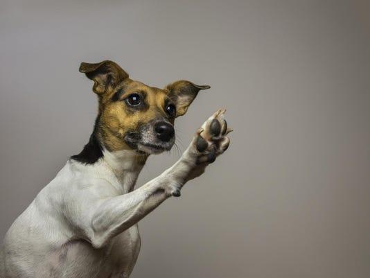 Little dog giving a High-five.