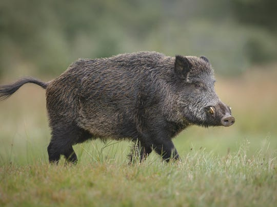 Wild boar in a forest.
