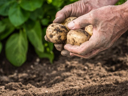 Male hands harvesting fresh potatoes from garden