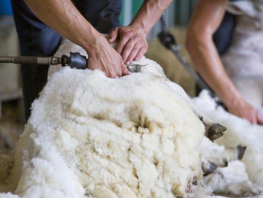Close up of farmer shearing sheep for wool in barn