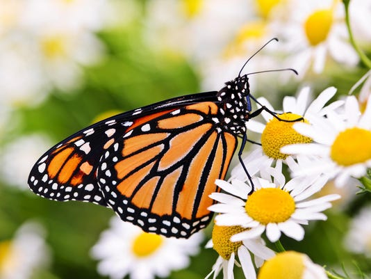 Close-up of Monarch butterfly on a cluster of daisies