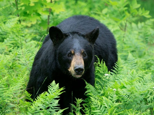 During New Jersey's black bear hunt, 409 bears were killed.