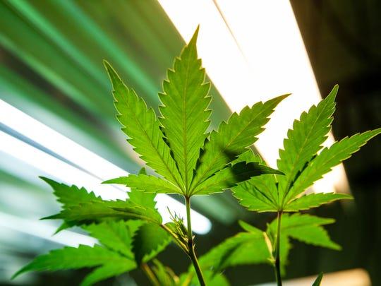 Marijuana plant under lights.